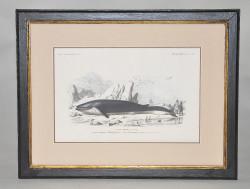 Gravure Baleine
