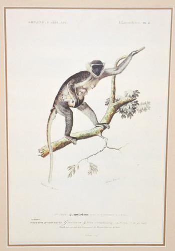 Gravure Guenon
