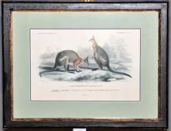Gravure couple de Kangourous